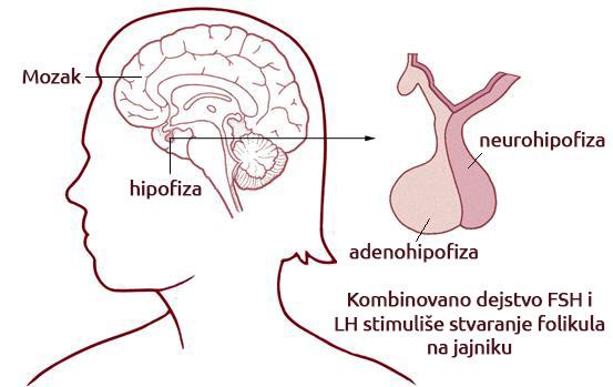 Oba ova hormona, stvara hipofiza, i oba hormona su veoma važna u smislu reproduktivnog zdravlja i kod žena i kod muškaraca. Kod žena, kombinovano dejstvo FSH i LH stimuliše stvaranje folikula na jajniku. Skok LH u sredini ciklusa je odgovoran za ovulaciju. Nivoi FSH hormona se obično povećavaju u menopauzi, iz razloga što su jajnici slabije receptivni za ovaj hormon, što je i razlog povećanog lučenja od strane hipofize u ovom periodu.