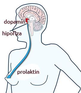 Kod žena prolaktin stimuliše dojke da stvaraju mleko. Tokom trudnoće, prolaktin počinje da se povećava nakon 6-te nedelje gestacije, a svoj vrhunac dostiže na kraju trudnoće.